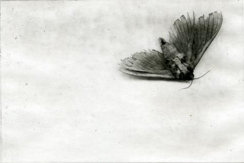 Photocollagraph of moth