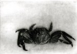 Etching of a red bait crab