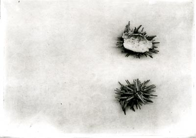 Etchings with sea urchin shell