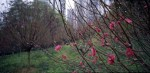 A large stand of peach blossom in a public park during Chinese New year