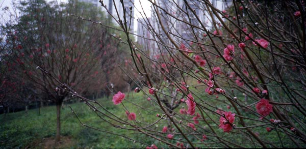 A large stand of peach blossom in a public park